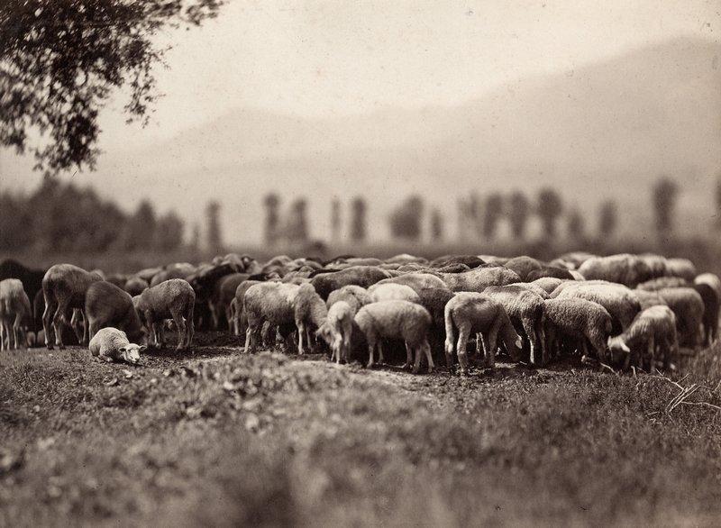 Adolphe Braun, Schafherde, 1860-1862, Albuminpapier © Münchner Stadtmuseum Foto freundlicherweise vom Museum zur Verfügung gestellt