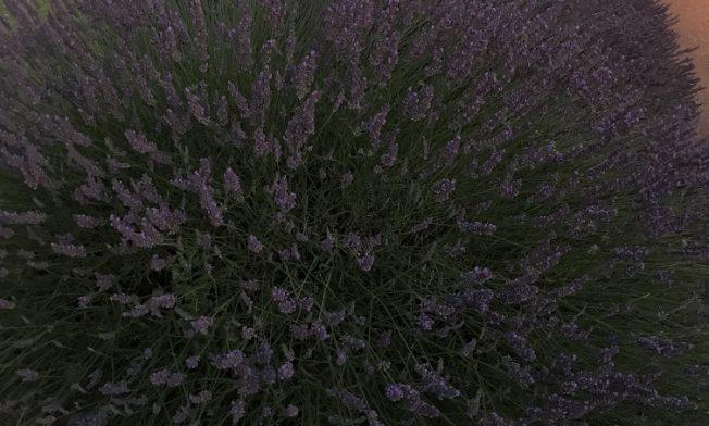 Lavendelhecke