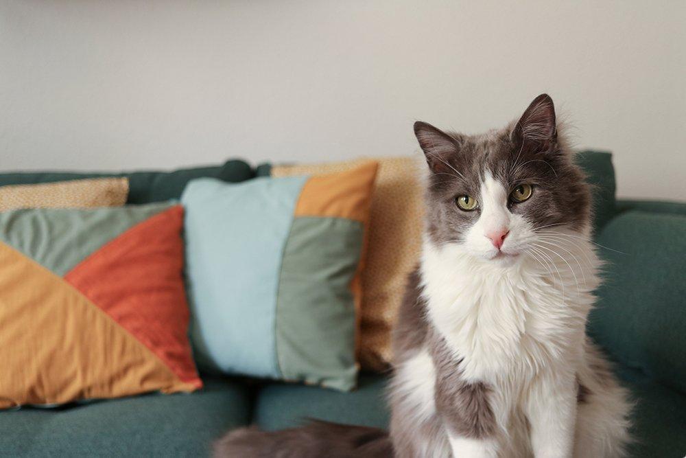 Katze vor Sofakissen
