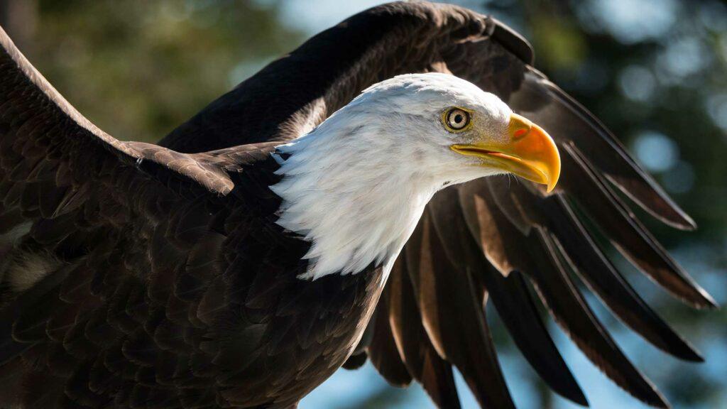 eagle_neighbour